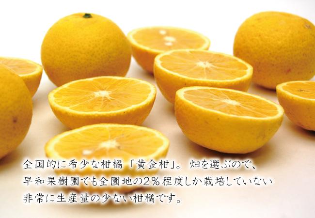 黄金柑をどうぞご賞味下さい。
