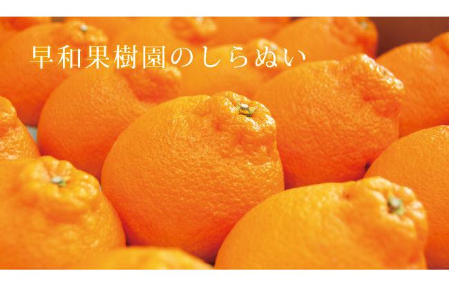 黄しらぬい(不知火)金柑