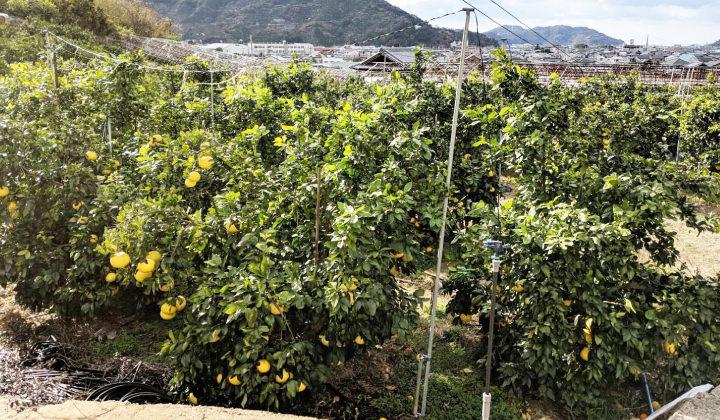 早和の香りは只今販売面積拡大中!どんどん収穫量が増えていきますのでお楽しみに。