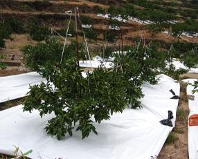 マルチ栽培